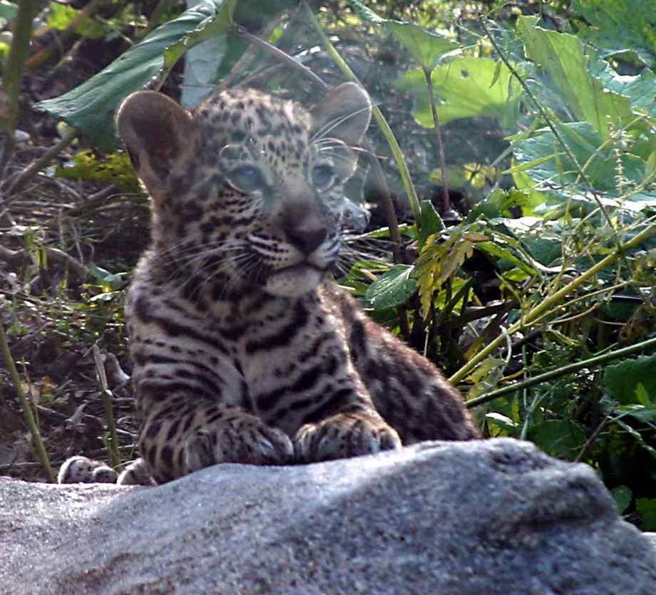 عکس های ببر-عکس ببر jaguar