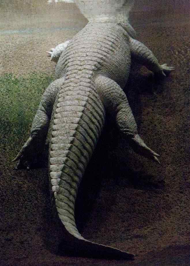 گالری عکس تمساح-عکس های کروکودیل-عکسهای سوسمار