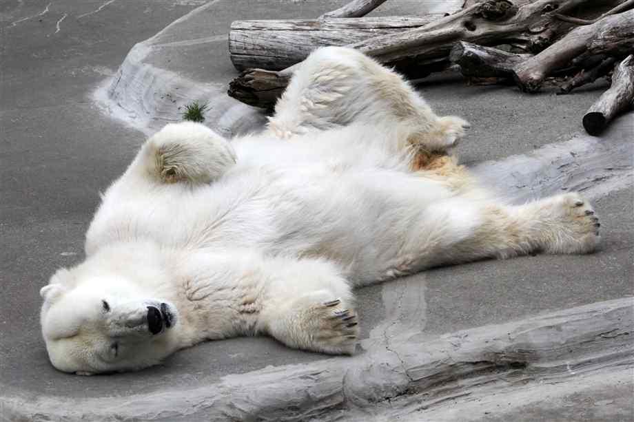 عکس خرس قطبی-خرس قطبی