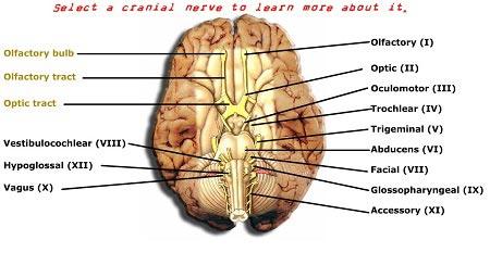 بازی متفاوت آموزش زبان و جراعی مغز واعصاب the 12 cranial nerves